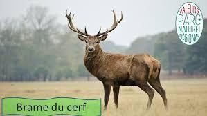 cerf.jpg